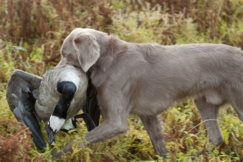 pointing dog blog breed of the week the weimaraner part 1