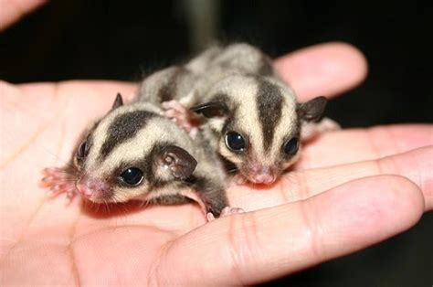 sugar glider facts an overview on caring for baby sugar gliders