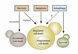 Yeast Cell Death  Yeast Cells Can Die Either Upon Exposure