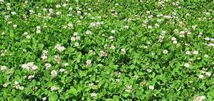 Durana (White Clover) Seed – Seed – Pellet Stoves – Wood ...