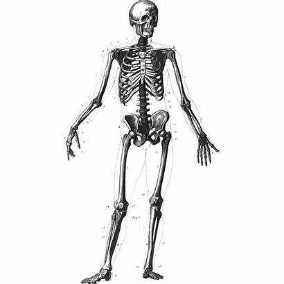 Skeleton Human Clipart Clipground
