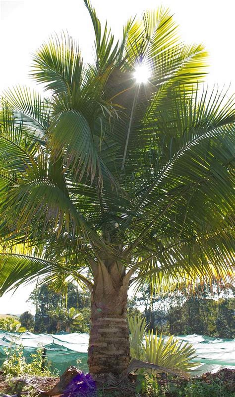 tips  caring  majestic palms ravenea rivularis