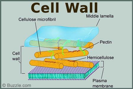 cell wall   outermost covering   cell present