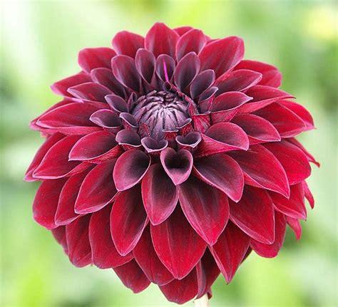 dahlia photos flowerstory dahlia
