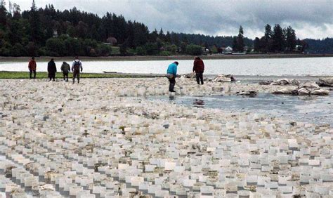 gear  mud burrowing bivalve mollusks impacts
