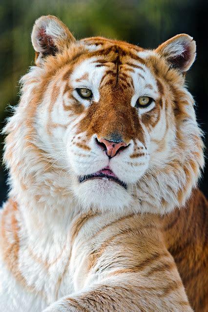 Melancholic Golden Tiger Flickr Photo Sharing