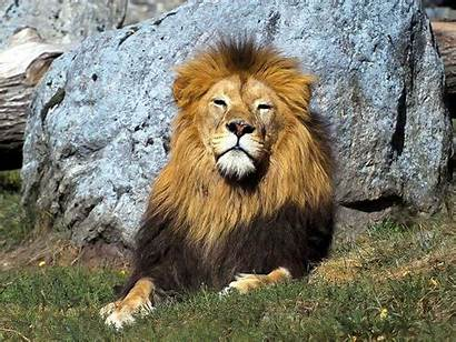 Wallpapers Lions Lion Desktop Animals Background Resolution
