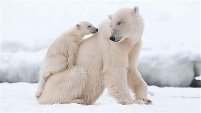 Polar Cubs Bears Bear Newborn Cub Nature