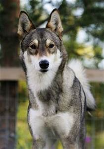 1000+ images about East Siberian Laika on Pinterest ...