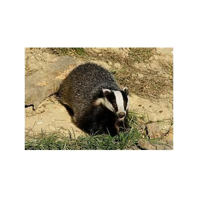 File:european badger- Honey badgerApex Predators
