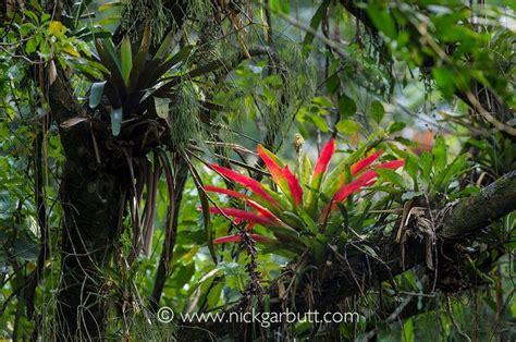 amazon rainforest epiphytes google search drawing