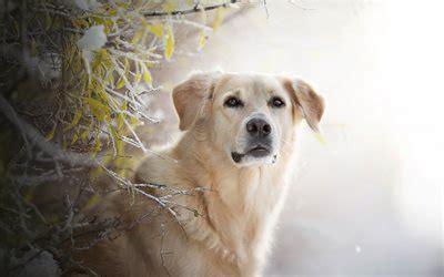 wallpapers golden retriever cute dog pets dog