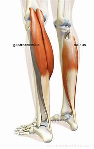 The Daily Bandha  The Gastrocnemius  Soleus Complex In Yoga