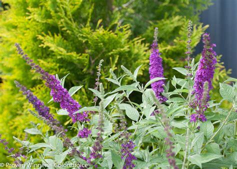 violet butterfly bush buddleia  proven winners