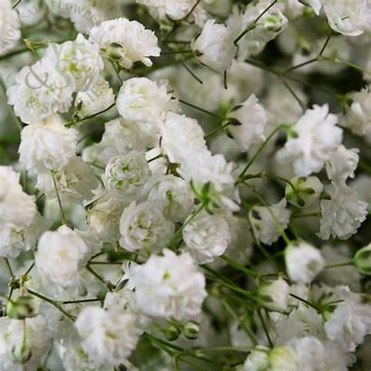 Gypsophilia Flowers Mix Supplies Bunches Wholesale Sooner