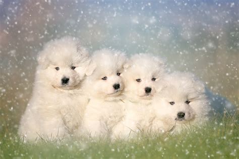 Adorable Samoyed Puppies Hd Wallpaper Background Image