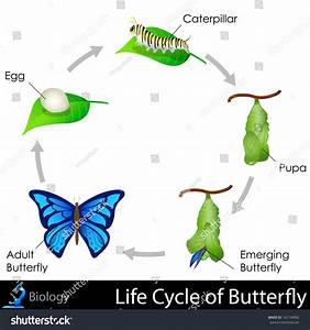 Easy Edit Vector Illustration Lifecycle Butterfly Stock