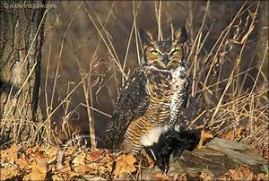 A Pleistocene Great Horned Owl's (Bubo virginianus) Roost ...