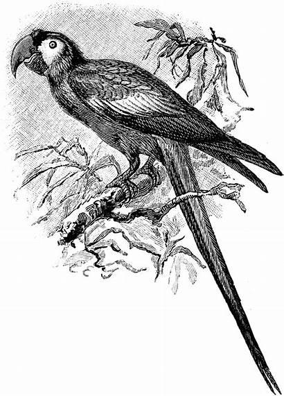 Macaw Clipart Branch Birds Etc Usf Edu