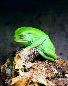 Waxy Monkey Tree Frog , is a hylid frog belonging to the ...
