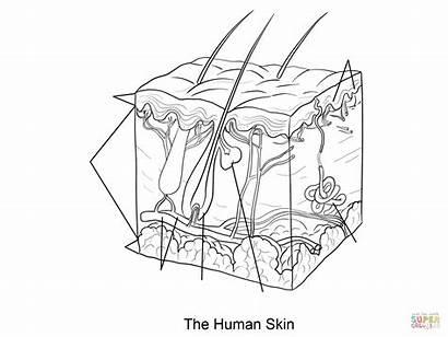Skin Coloring Human Pages Tissue Epidermis Dermis