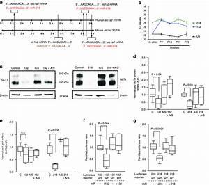 Identification Of Mirs That Inhibit Glt1 Protein