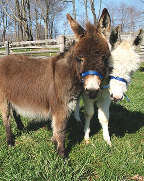 miniature donkeys martha stewart