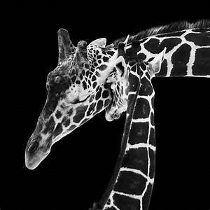 Mother And Baby Giraffe Photograph by Adam Romanowicz