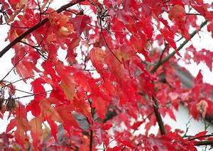 Ahorn Rote Blätter : feuerahorn rote bl tter im fr hen herbst malerischer kleiner baum ~ Eleganceandgraceweddings.com Haus und Dekorationen