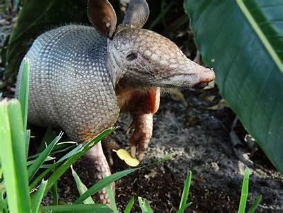 Armadillo Banded Nine Animals Animal Roll Leprosy