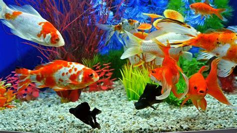 slow motion  goldfish eating fish food  swimming