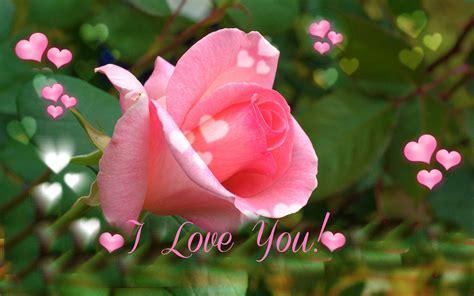 love  pink rose  valentines day wallpaper