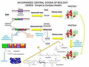 4 2  The Central Dogma Of Biology