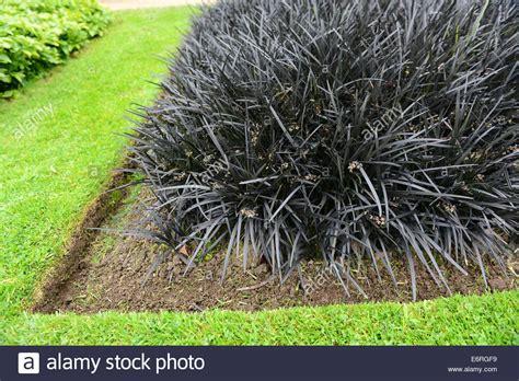 Black Lilyturf Stock Photos & Black Lilyturf Stock Images
