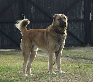 Kuchi (Afghan Shepherd) Dog Info, Temperament, Puppies ...