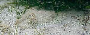 zoology - How does the Cuttlefish camouflage itself ...