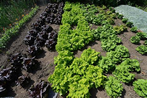 Goodnestone Park Different Types Of Lettuce Growing