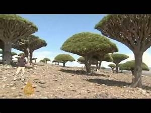 The Dragon Blood Tree   One Of Most Bizarre Trees Of The