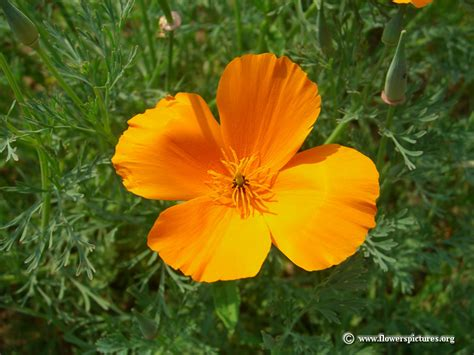 flowers in california california poppy flower picture