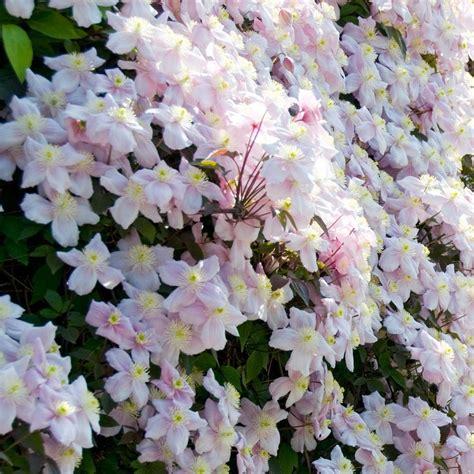 summer flowering climbers clematis montana mayleen kopen tuincentrum nl