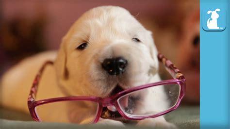 cute  week  golden retriever puppy