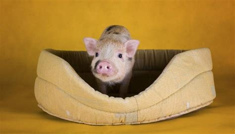 care  pot bellied pigs animals momme