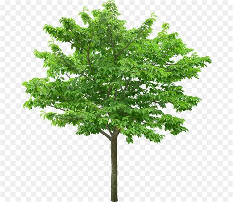 Tree Wallpaper Png by Arbol Png 800 779 Free Transparent Tree Png