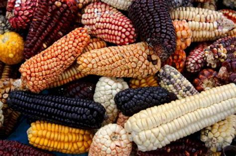 Scientists document the first use of maize in Mesoamerica ...