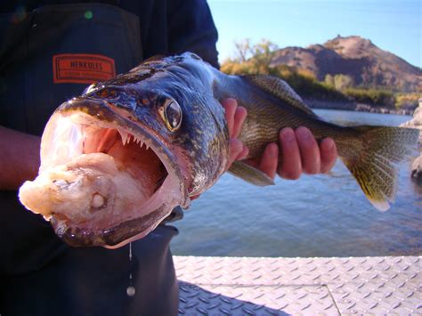 Muscle-dissolving Fish Parasite Infects 26 Minnesota Lakes ...