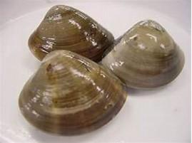 ホンビノス貝 に対する画像結果