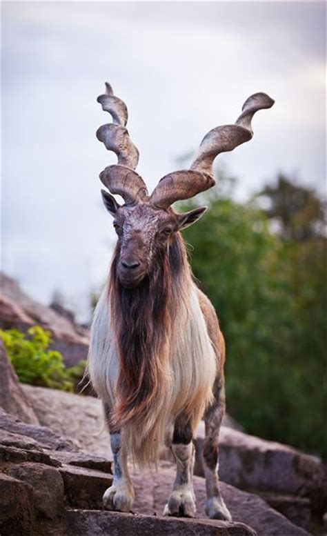 national animal  pakistan markhor   large species