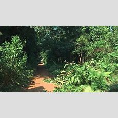 Jungle Road In Western Uganda Road Leads Through Thick