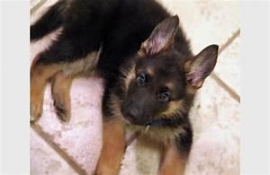 german shepherd puppy cute dog | Puppy Overload