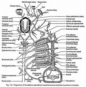 Circulatory System Of Scoliodon  With Diagram